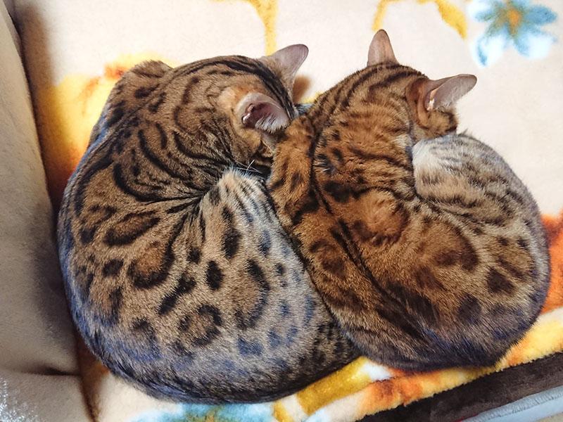 ベンガル猫はヒョウ柄