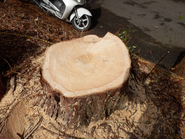 ヒノキの木を切る